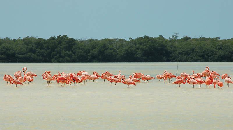 Fenicotteri rosa nell'area naturalistica di Celestun