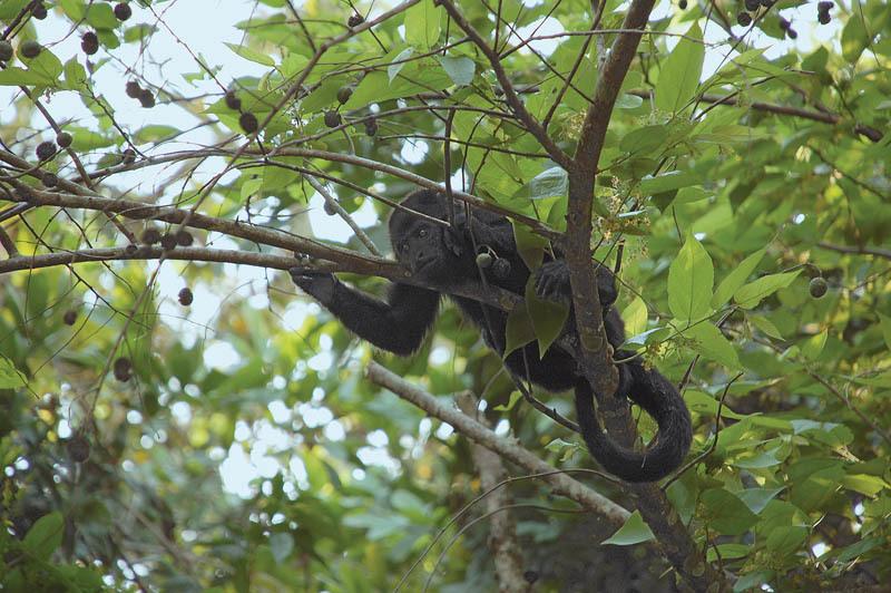Una giovane scimmia urlatrice