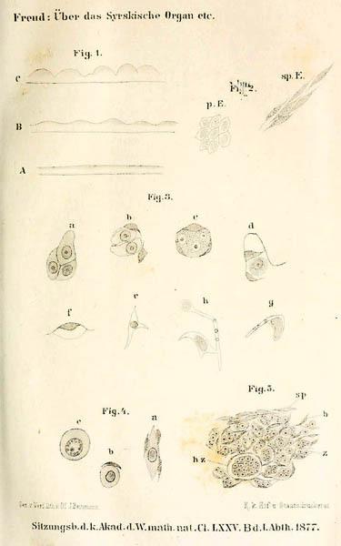 I disegni realizzati da Sigmund Freud a Trieste, relativi agli organi sessuali delle anguille