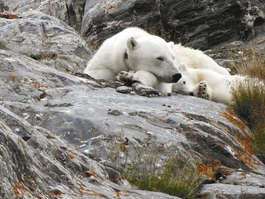 Orso polare nei pressi del ghiacciaio Nordenskioldbreen (ph. M. Tomaselli)