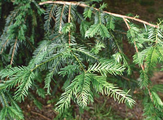 Taxus baccata (ph. Francesca Bottari)