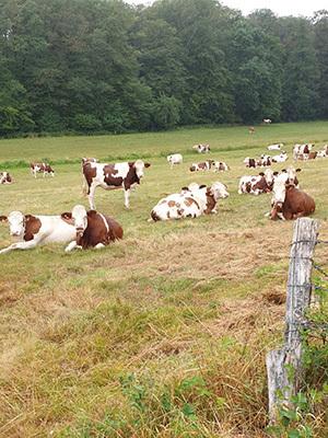 Mucche al pascolo nella regione del Grand Est