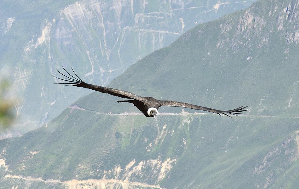 Condor in volo nel cielo del Colca (ph. Claudio Pizzin)