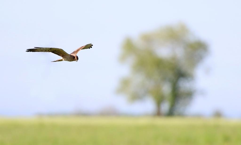 Biotopo San Quirino, rapace in volo (ph. Vaccher)