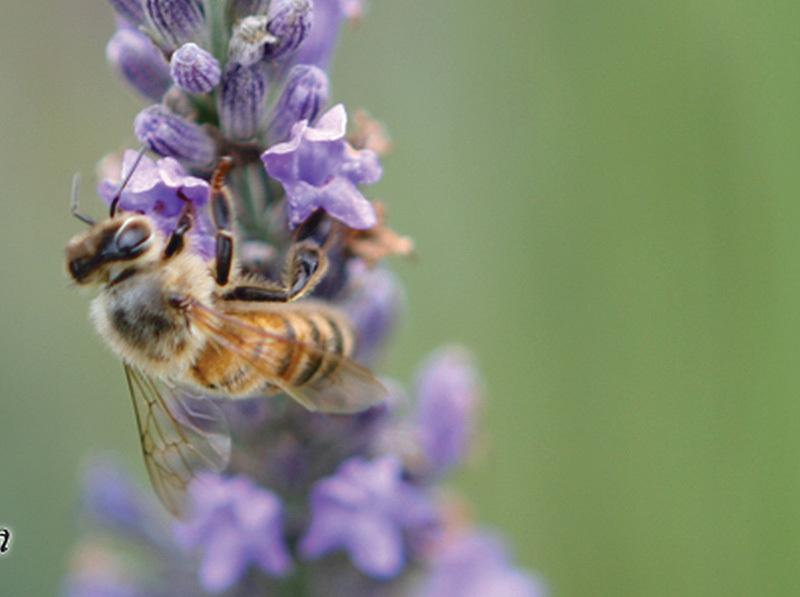L'ape mentre impollina i fiori di lavanda