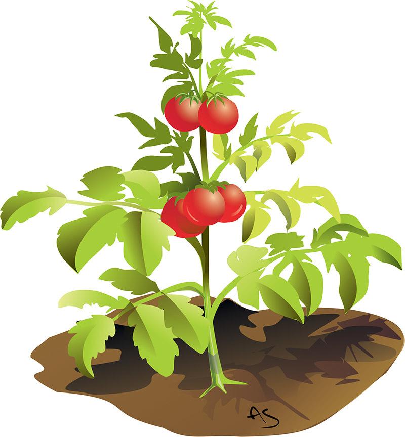 Pianta di pomodoro (disegno di Alfio Scarpa)