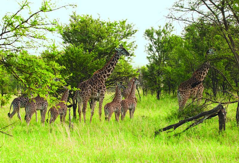 Gruppo di giraffe