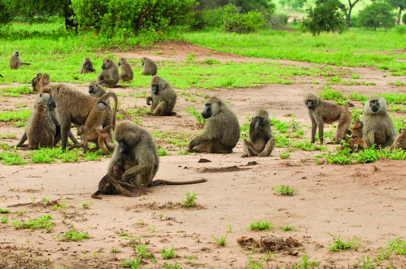 Esemplari di anubi (babbuino verde)