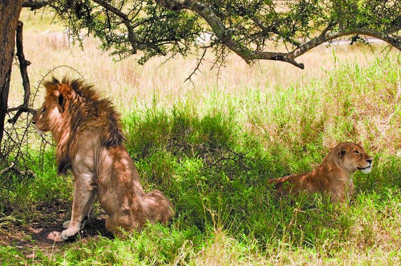 A sinistra il leone, a destra la leonessa