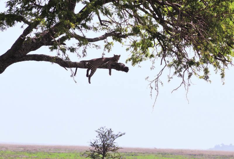 Un leopardo appollaiato sull'albero
