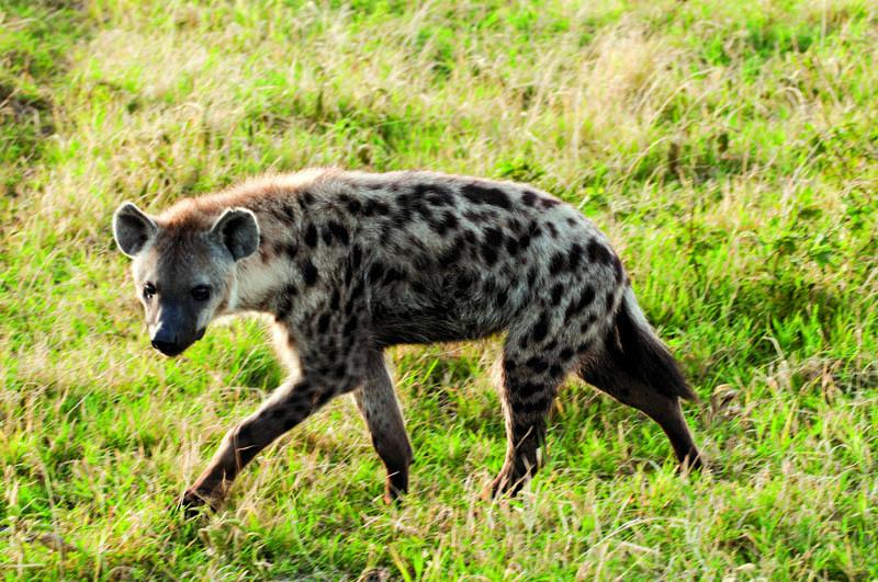 La iena maculata