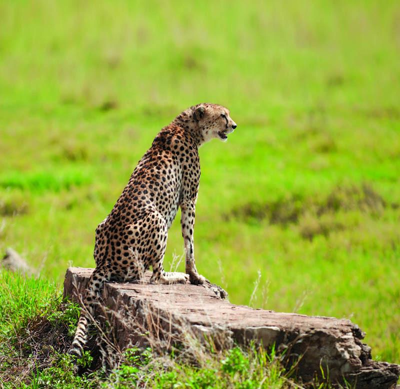 Il ghepardo in attesa