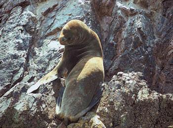 Lobo de Mar (leone marino) su una delle isole dell'arcipelago Ballestas (ph. C. Pizzin)